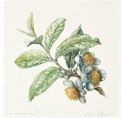 Herbata / Camellia sinensis