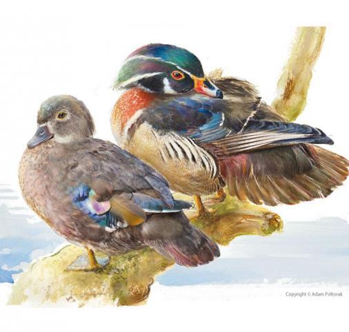 Wood duck / Carolina duck