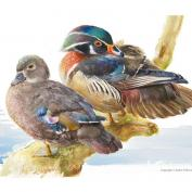 Wood duck / Carolina duck