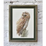 Tawny owl / Puszczyk